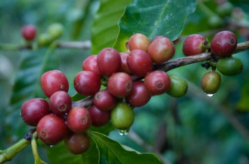 Total Coffee Production of Exporting countries 2010 160000 140000 120000 100000 80000 60000 40000 20000 0 Total World Production Brazil Vietnam Indonesia Colombia India Mexico Honduras Guatemala Peru