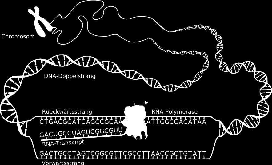 Transkription von DNA