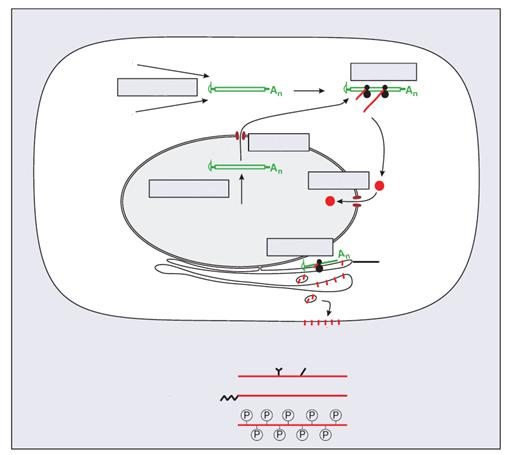 Transkription, Translation, Modifikation 16 Eukaryotenviren DNA-VIREN RNA-VIREN Transkription mrna Translation Protein mrna Transport Transkription DNA-VIREN Transport