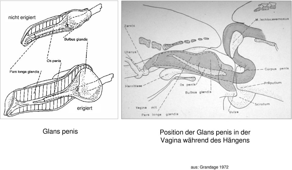 Glans penis in der Vagina