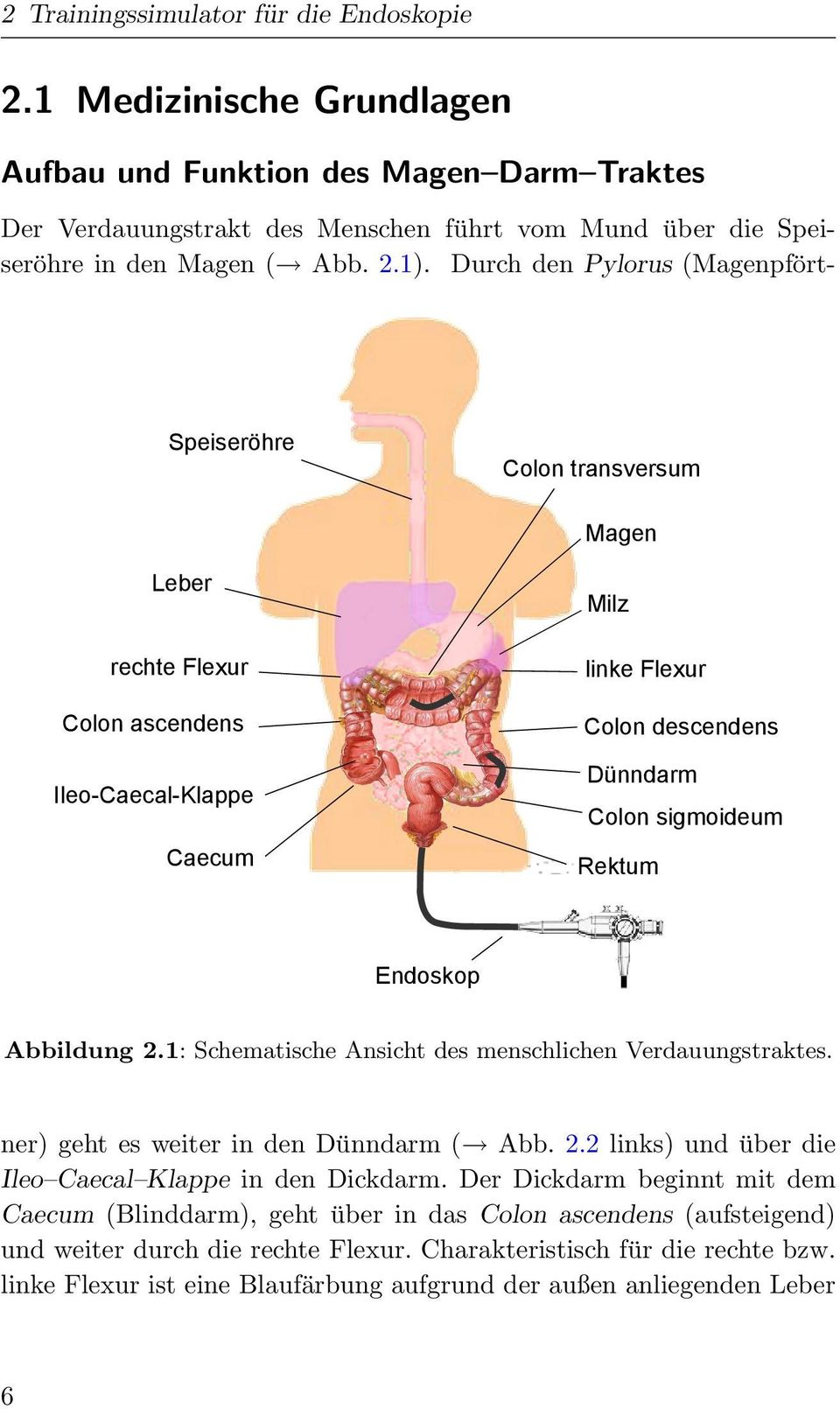 Durch den Pylorus (Magenpfo rt- Speiseröhre Colon transversum Magen Leber Milz rechte Flexur linke Flexur Colon ascendens Colon descendens Dünndarm Ileo-Caecal-Klappe Colon sigmoideum Caecum Rektum