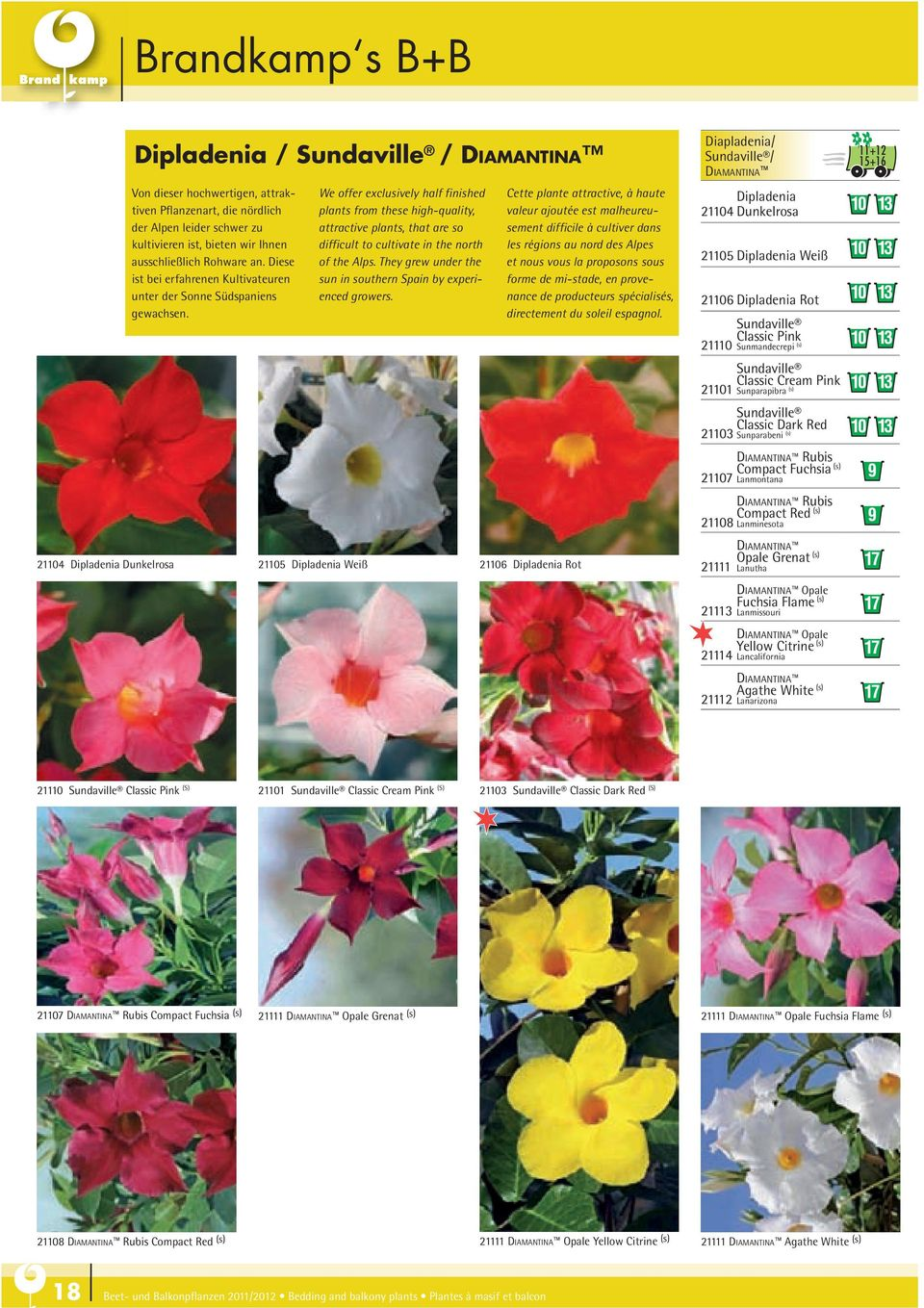 21105 Dipladenia Weiß We offer exclusively half finished plants from these high-quality, attractive plants, that are so difficult to cultivate in the north of the Alps.