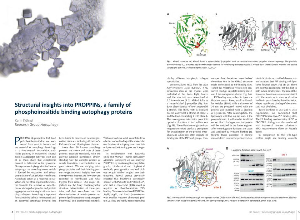 ) Structural insights into PROPPINs, a family of phosphoinositide binding autophagy proteins Karin Kühnel Research Group Autophagy PROPPINs (β-propellers that bind polyphosphoinositides) are
