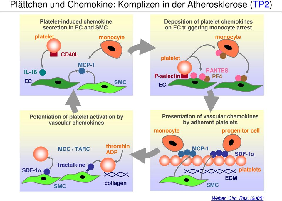 EC RANTES PF4 Potentiation of platelet activation by vascular chemokines Presentation of vascular chemokines by adherent