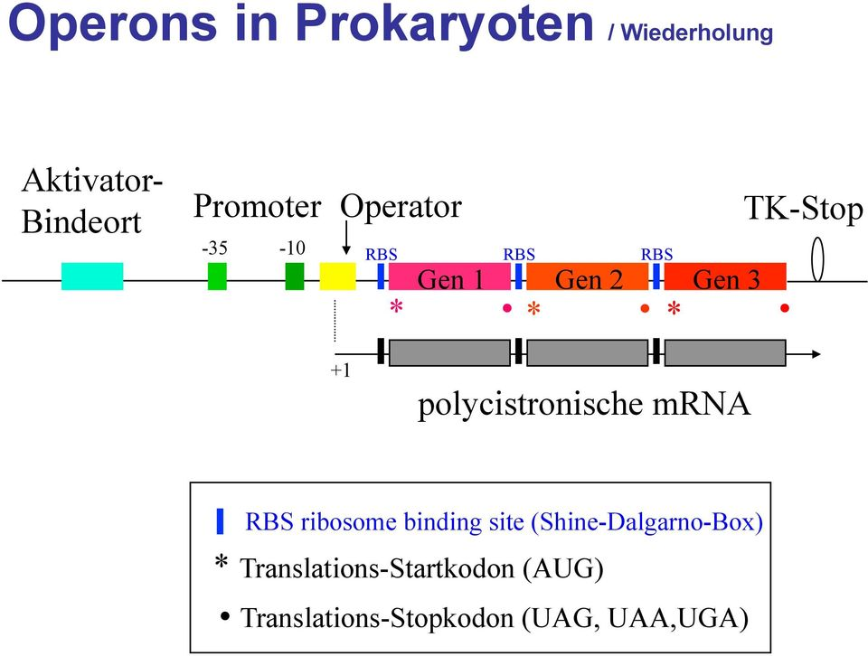 polycistronische mrna RBS ribosome binding site