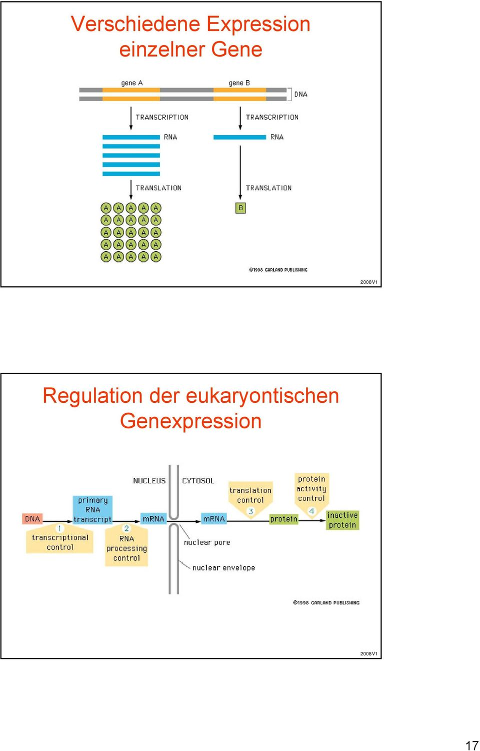 Gene Regulation der