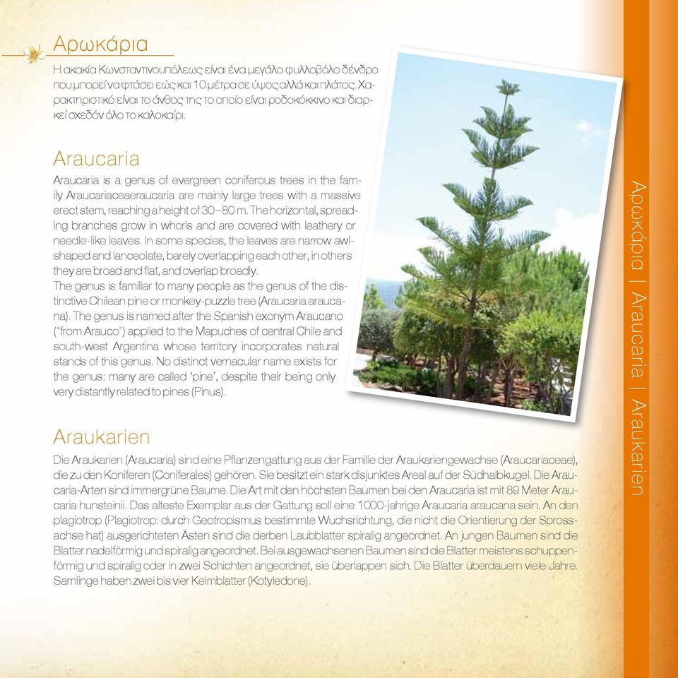 Araucaria Araucaria is a genus of evergreen coniferous trees in the family Araucariaceaeraucaria are mainly large trees with a massive erect stem, reaching a height of 30 80 m.
