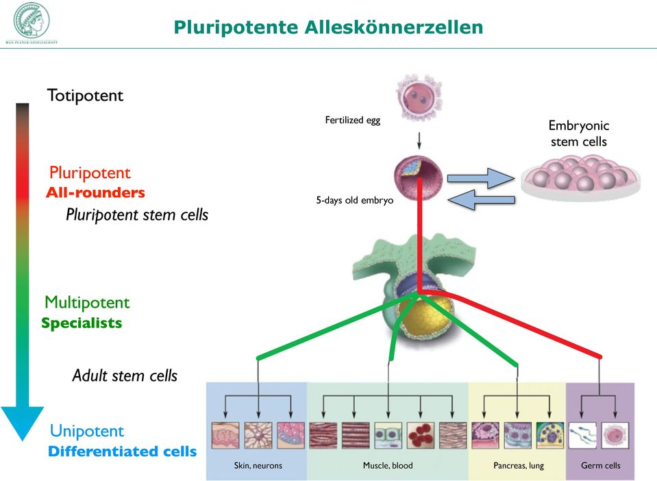 old embryo Multipotent Specialists Adult stem cells Unipotent