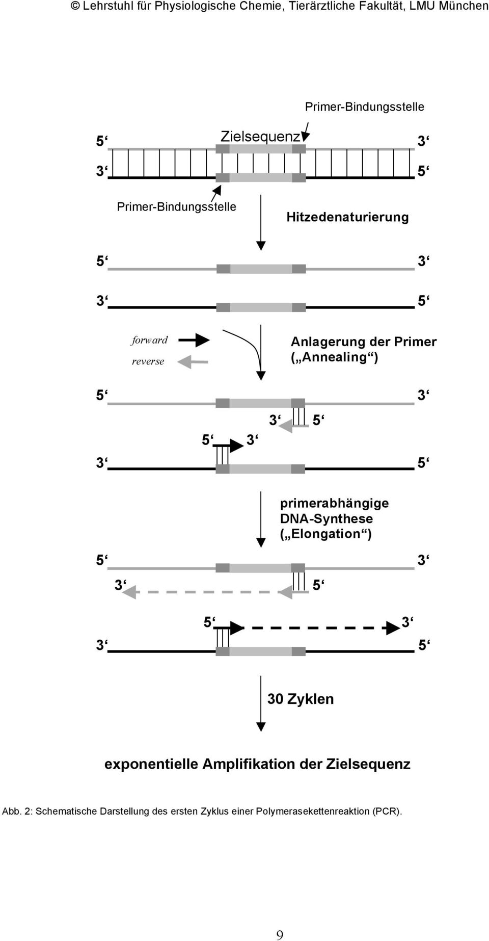 DNA-Synthese ( Elongation ) 5 3 3 5 3 5 5 3 30 Zyklen exponentielle Amplifikation der