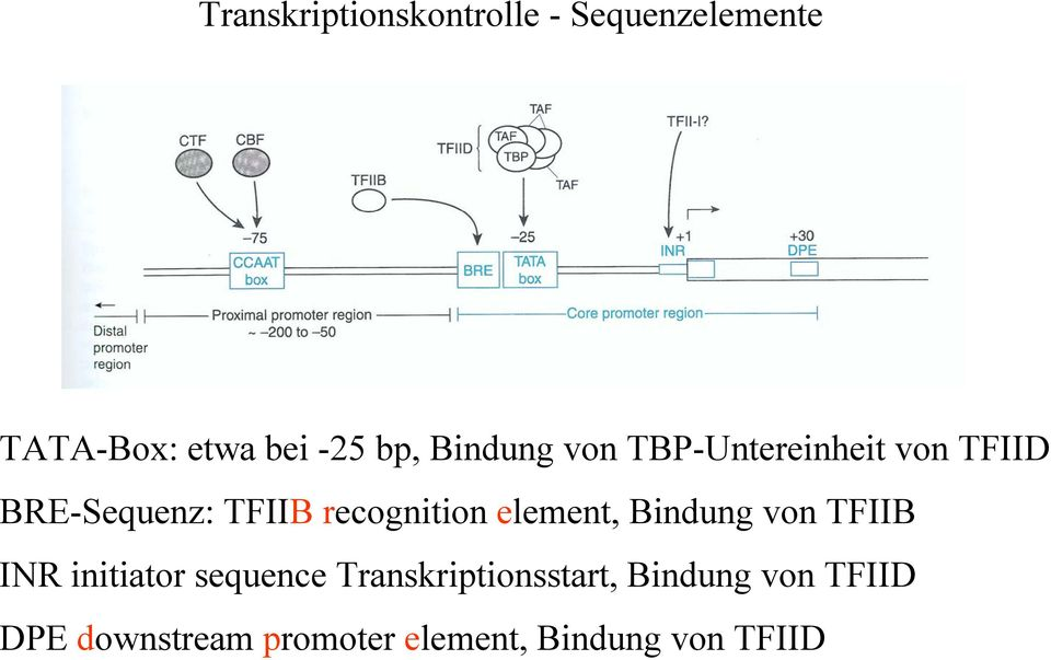 element, Bindung von TFIIB INR initiator sequence