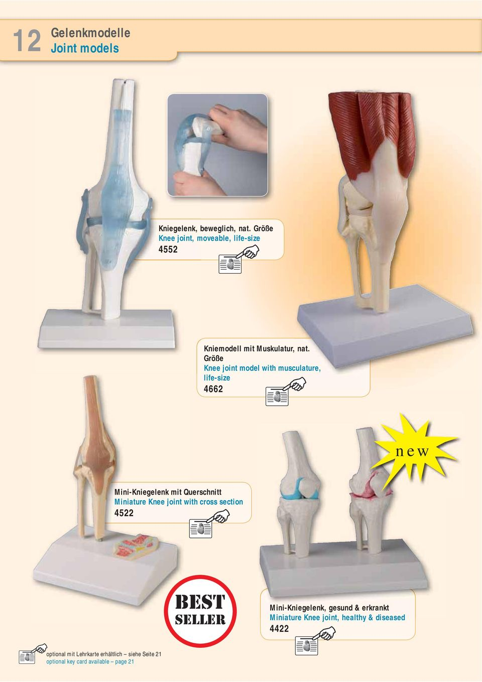 Größe Knee joint model with musculature, life-size 4662 new Mini-Kniegelenk mit Querschnitt Miniature Knee