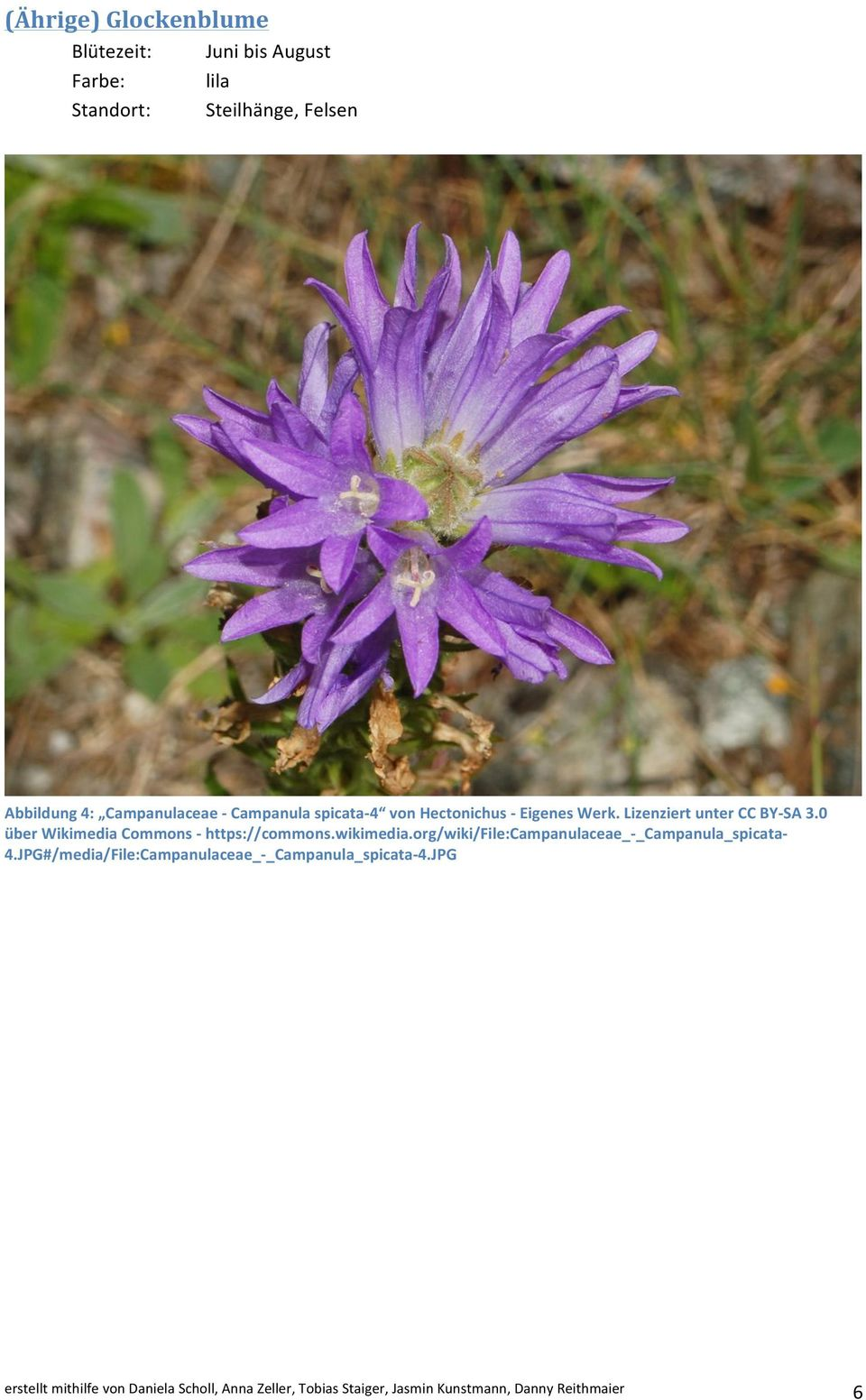 0 über Wikimedia Commons - https://commons.wikimedia.org/wiki/file:campanulaceae_-_campanula_spicata- 4.