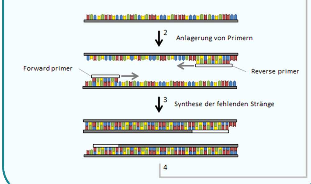 POLYMERASE KETTENREAKTION a Marker PCR