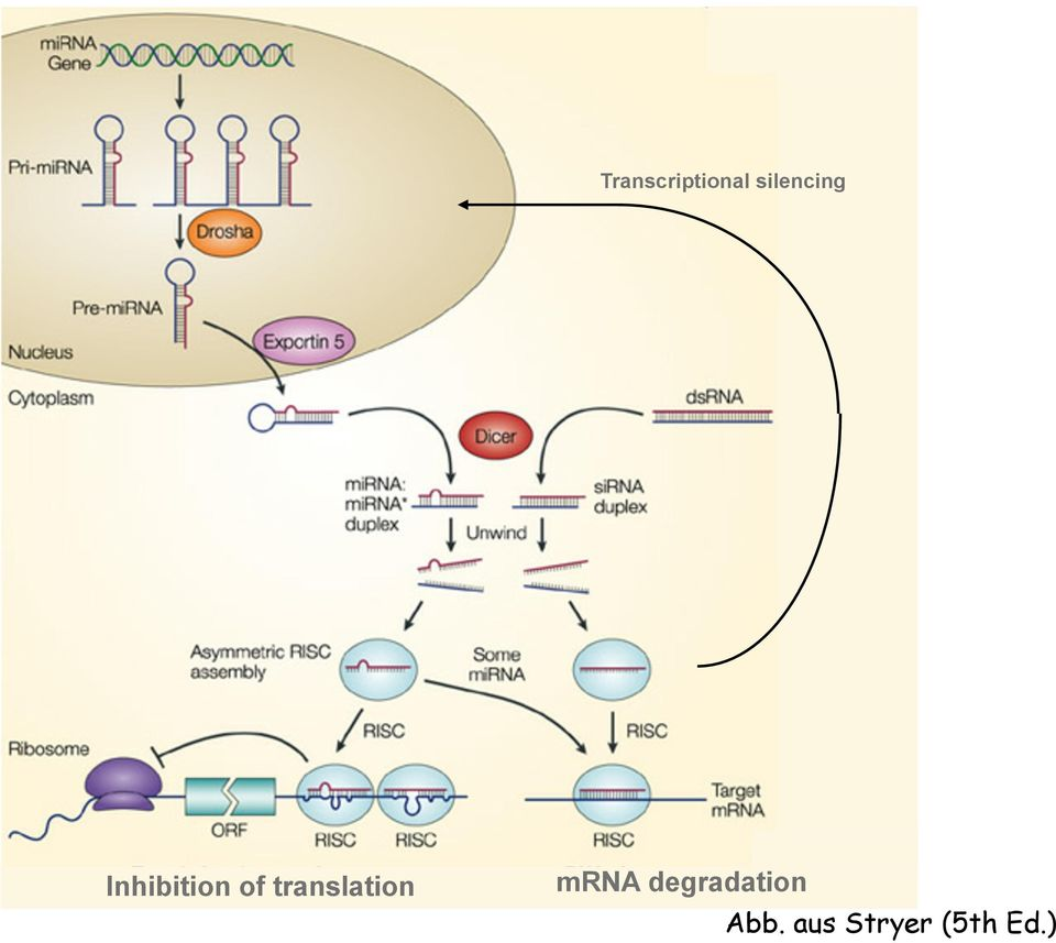 translation mrna