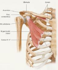 Musculus pectoralis minor Rippe 3-5 Proc.