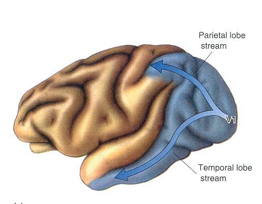 Höhere visuelle Areale Parietal lobe Stream