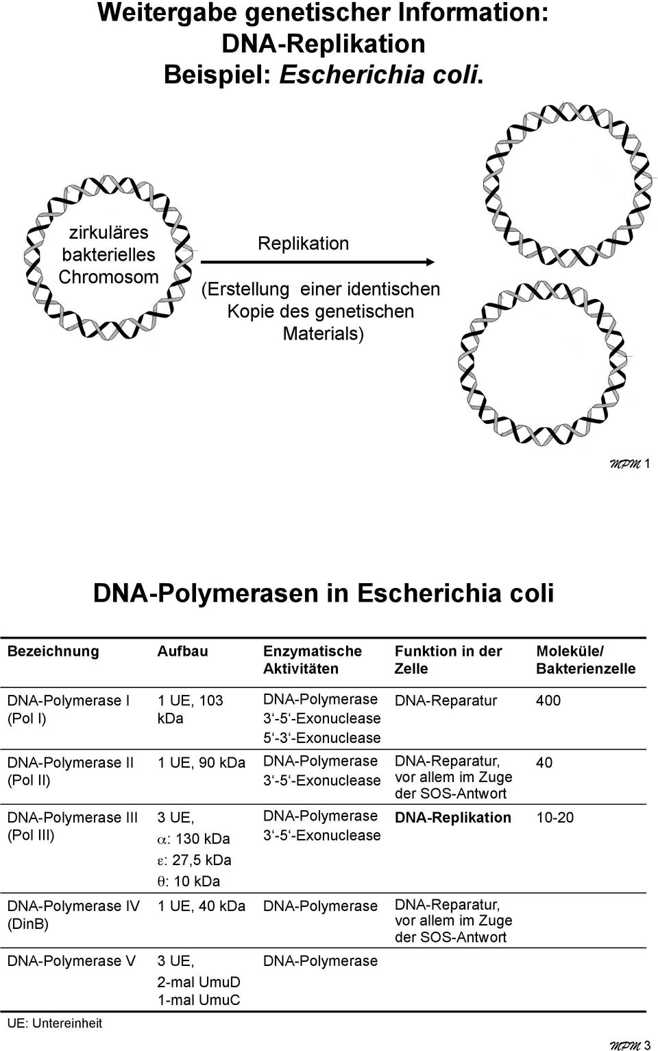 Funktion in der Zelle Moleküle/ Bakterienzelle DNA-Polymerase I (Pol I) DNA-Polymerase II (Pol II) DNA-Polymerase III (Pol III) DNA-Polymerase IV (DinB) DNA-Polymerase V UE: Untereinheit 1 UE, 103